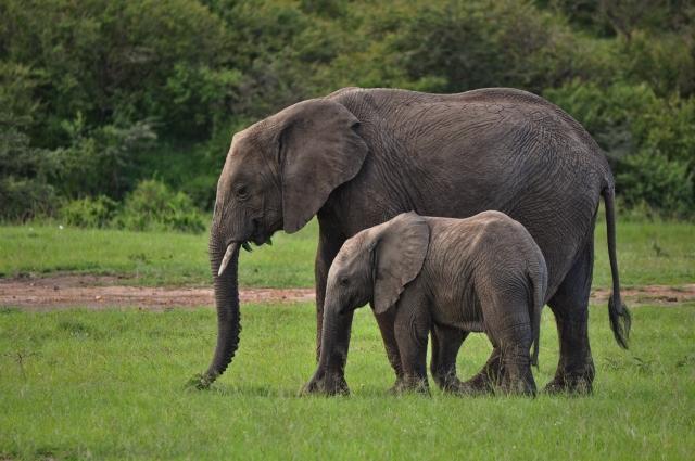 Elephants in safari