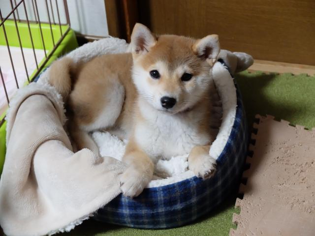 柴犬 Shiba inu